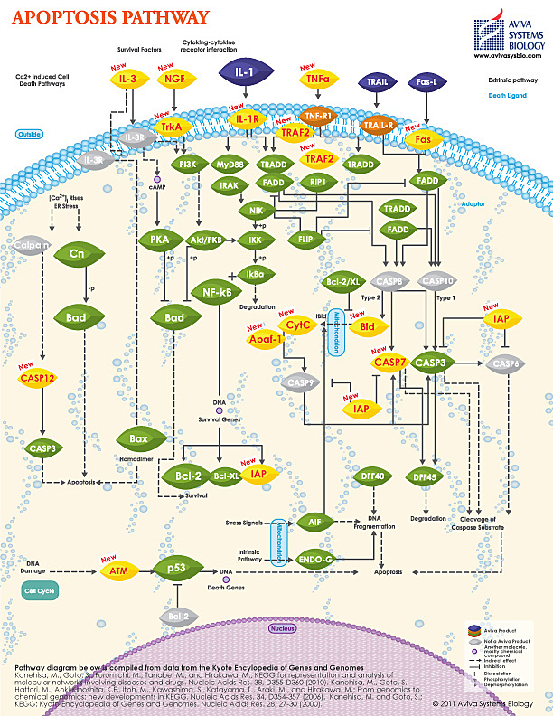 Apoptosis pathway image by Aviva Systems Biology