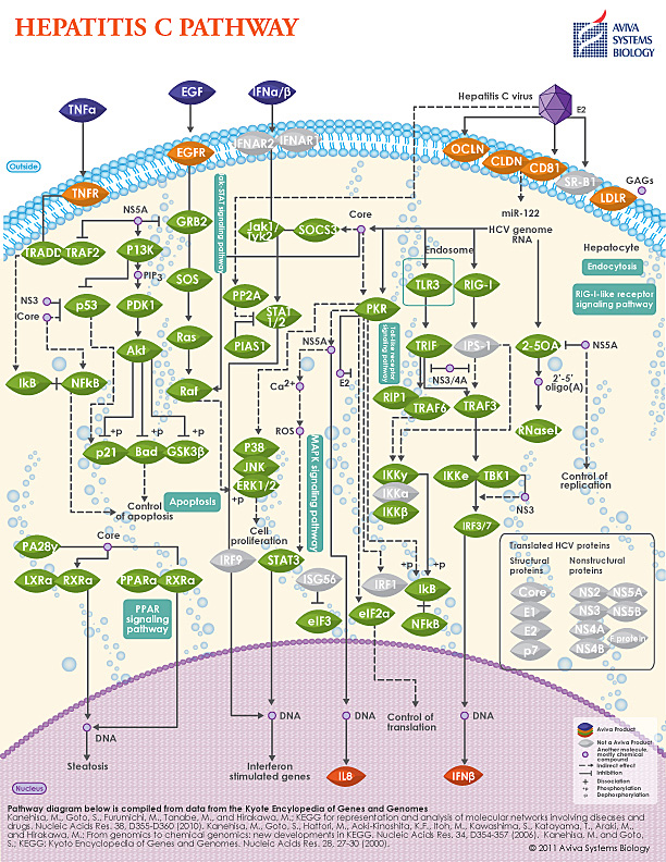 Hepatitis C pathway image by Aviva System Biology