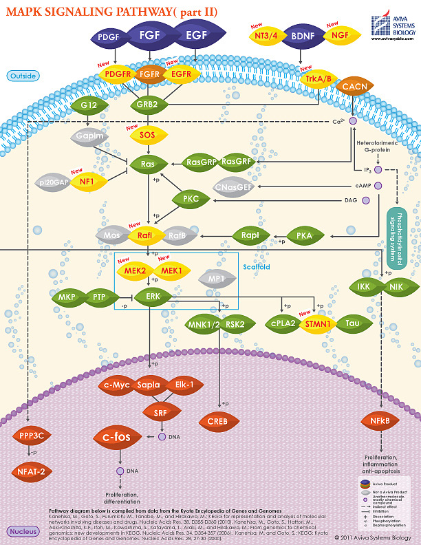 MAPK signaling pathway II image by Aviva Systems Biology