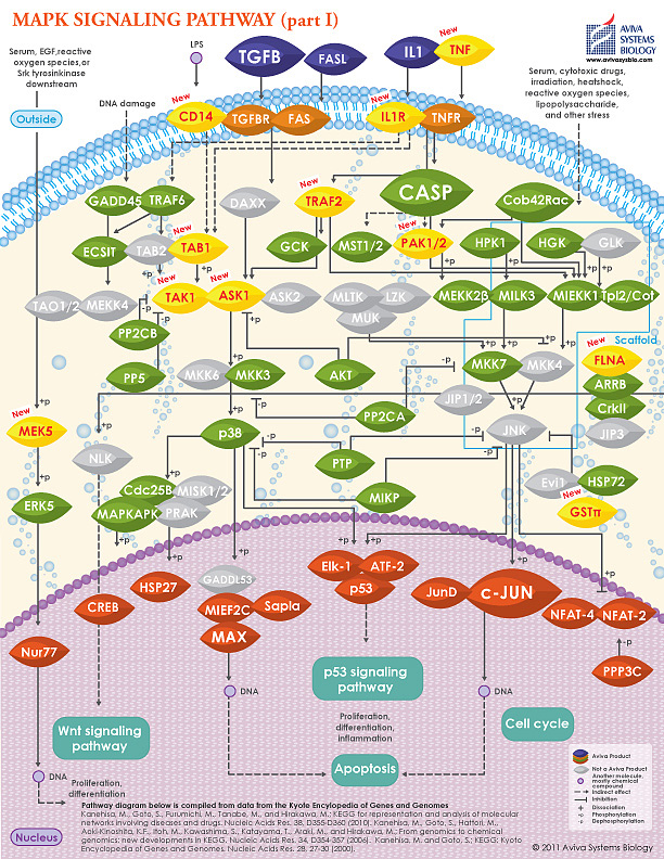 MAPK signaling pathway I image by Aviva Systems Biology