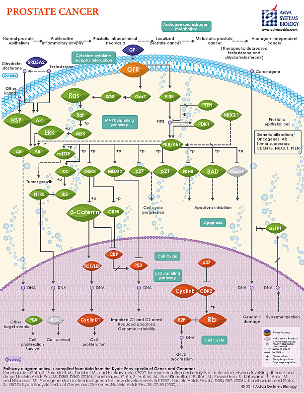 Prostate Cancer pathway image by Aviva System Biology