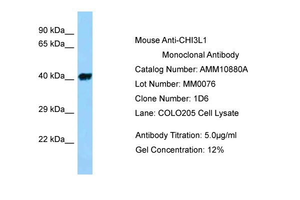 CHI3L1 Antibody (AMM10880A) in Human COLO205 cells using Western Blot