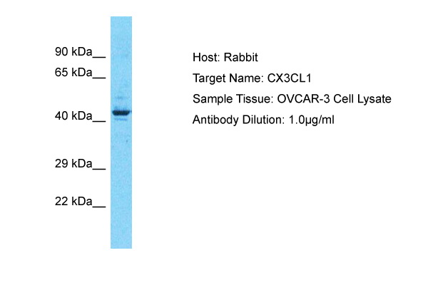 CX3CL1 Antibody - middle region (ARP30790_T100) in Human OVCAR-3 cells using Western Blot