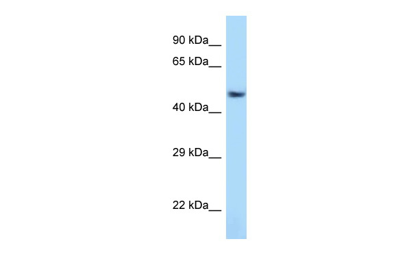 Atf7 antibody - C-terminal region (ARP31165_P050) in Rat Lung cells using Western Blot