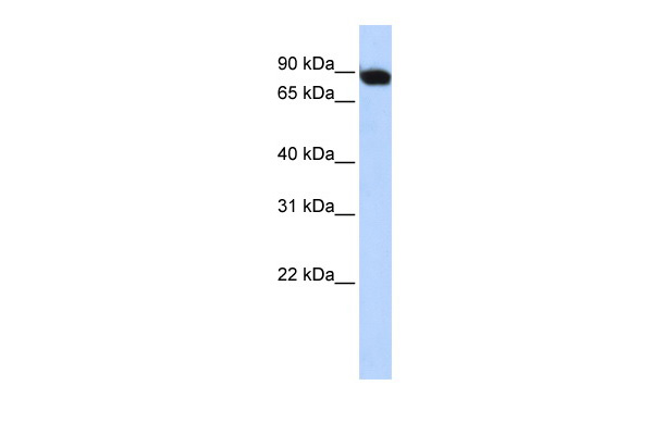 CREBL1 antibody - middle region (ARP31562_P050) in Human Muscle cells using Western Blot