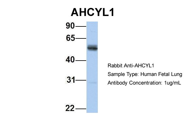 AHCYL1 antibody - N-terminal region (ARP33131_P050) in Hum. Fetal Lung cells using Western Blot