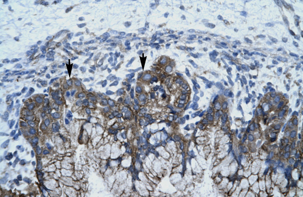 APOBEC3G antibody - N-terminal region (ARP33540_P050) in Human Stomach cells using Immunohistochemistry