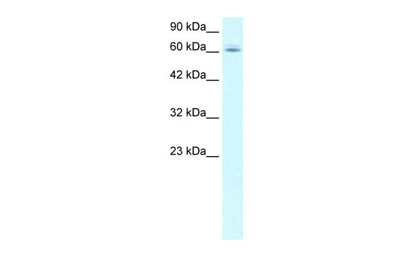 C14ORF169 antibody - N-terminal region (ARP33580_T100) in Human HepG2 cells using Western Blot