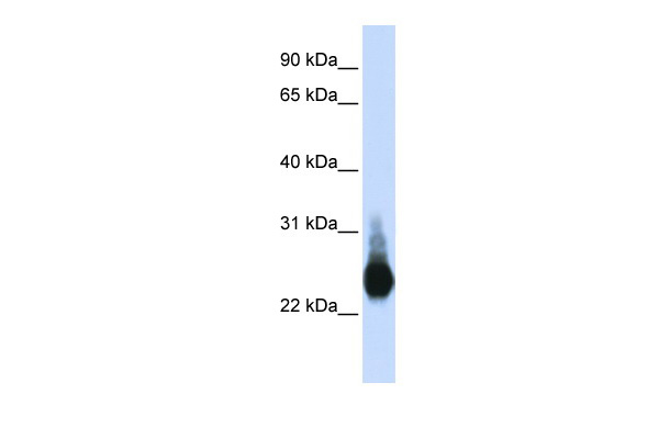 CLDN5 antibody - C-terminal region (ARP33627_P050) in Transfected 293T cells using Western Blot