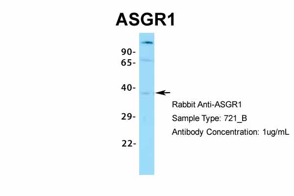 ASGR1 Antibody - middle region (ARP33805_P050) in Human 721_B cells using Western Blot