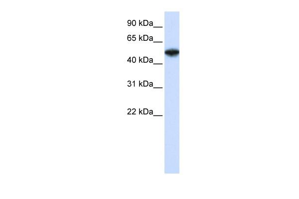 COPS2 antibody - N-terminal region (ARP34189_T100) in Human Jurkat cells using Western Blot
