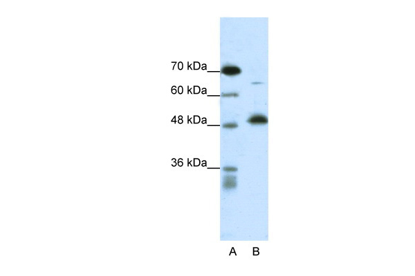 COPS2 antibody - N-terminal region (ARP34189_P050) in Human Fetal liver cells using Western Blot