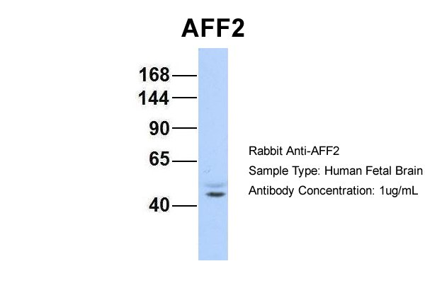 AFF2 antibody - N-terminal region (ARP34260_P050) in Hum. Fetal Brain cells using Western Blot