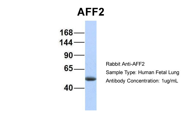 AFF2 antibody - N-terminal region (ARP34260_P050) in Hum. Fetal Lung cells using Western Blot