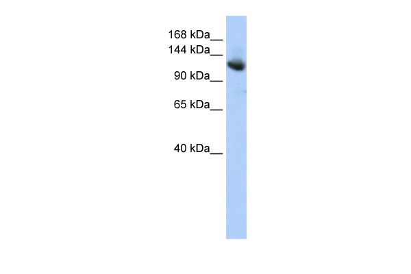 CAND1 antibody - middle region (ARP34584_P050) in Human HepG2 cells using Western Blot