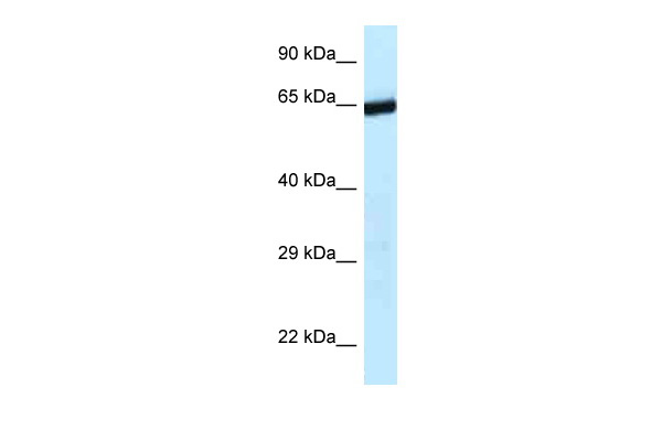 9330134C04Rik antibody - C-terminal region (ARP36473_P050) in Mouse Liver cells using Western Blot