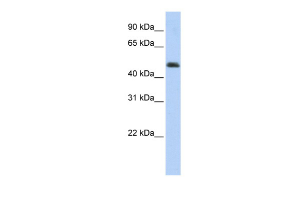 ARC antibody - middle region (ARP36563_P050) in Transfected 293T cells using Western Blot