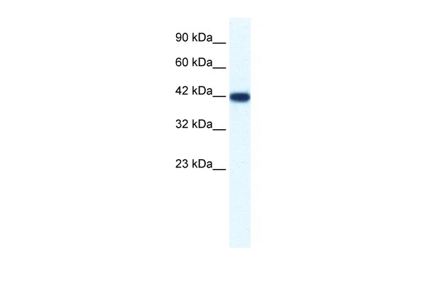 IBSP antibody - N-terminal region (ARP36681_T100) in Human HepG2 cells using Western Blot
