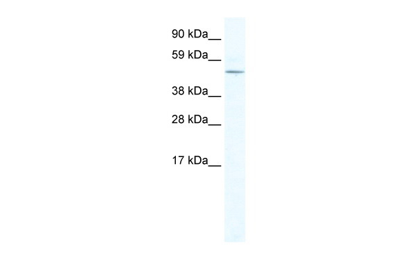 LASS4 antibody - N-terminal region (ARP37354_T100) in Mouse NIH-3T3 cells using Western Blot