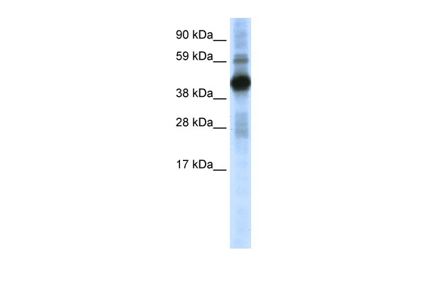 CREB1 antibody - N-terminal region (ARP37464_P050) in Mouse SP2/0 cells using Western Blot
