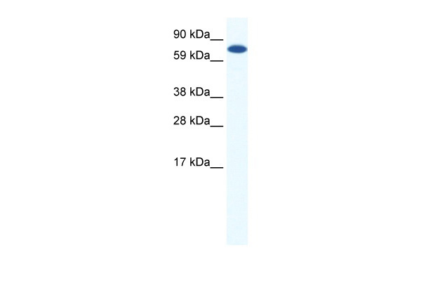 CBFA2T2H antibody - middle region (ARP37525_P050) in Mouse NIH-3T3 cells using Western Blot