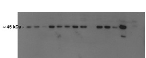 Atf4 antibody - N-terminal region (ARP38066_P050) in Mouse Kidney cells using Western Blot