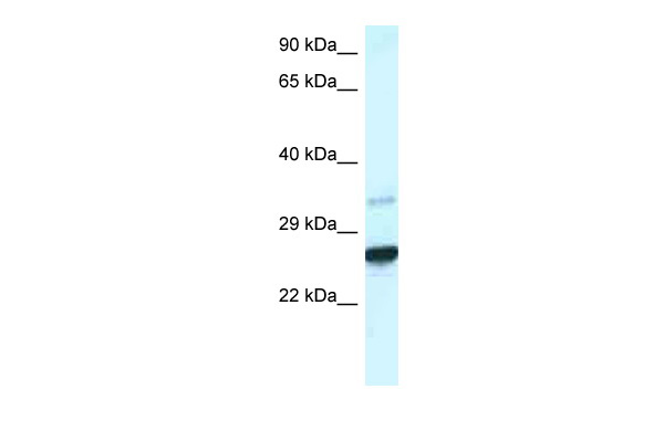 Cdx1 antibody - C-terminal region (ARP38076_P050) in Mouse Liver cells using Western Blot