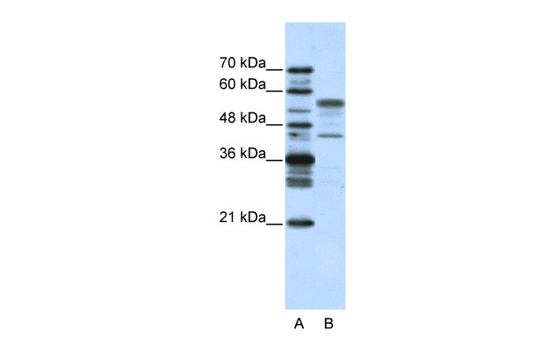 BLZF1 antibody - N-terminal region (ARP38375_T100) in Human HepG2 cells using Western Blot