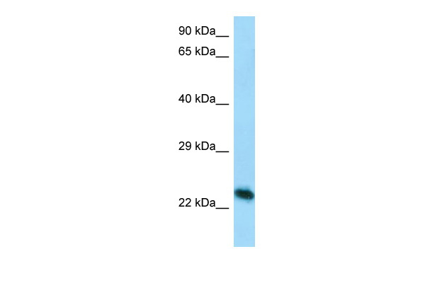Creg1 antibody - C-terminal region (ARP38389_P050) in Mouse Lung cells using Western Blot