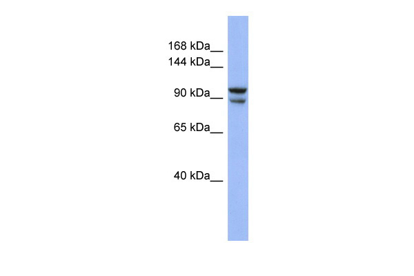 BBX antibody - middle region (ARP39409_P050) in Human COLO205 cells using Western Blot