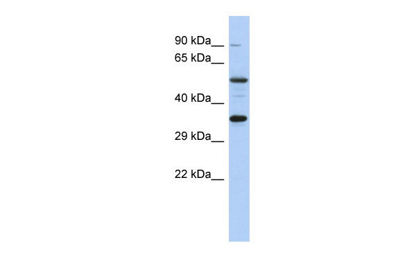 CREB1 antibody - middle region (ARP39811_P050) in Human HT1080 cells using Western Blot