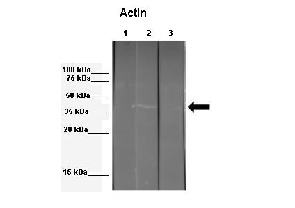 ACTB Antibody - middle region (ARP40174_P050) in Mouse 3T3 ECM extract , Echinococcus granulosus extract cells using Western Blot