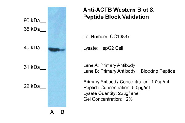 ACTB Antibody - middle region (ARP40174_P050) in HepG2 cells using Western Blot