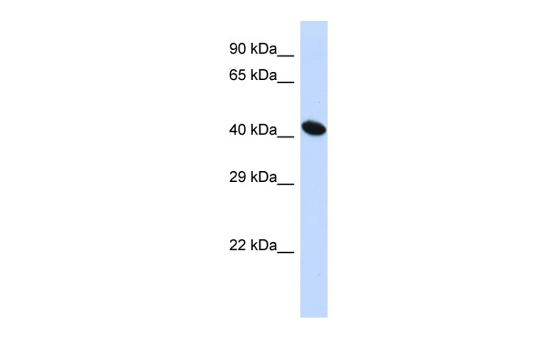 ACTB Antibody - middle region (ARP40174_P050) in Human HepG2 cells using Western Blot
