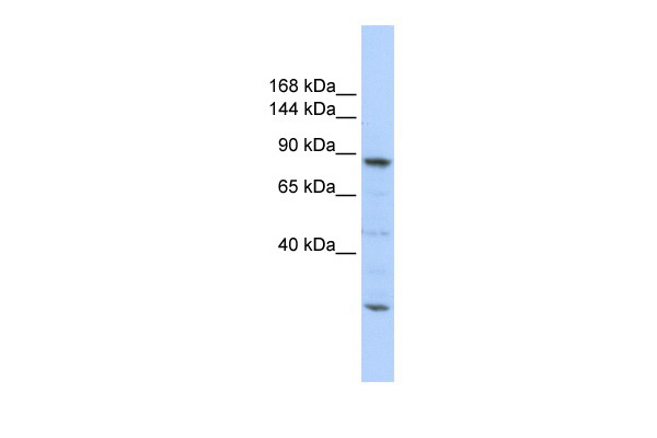 CDC5L antibody - middle region (ARP40347_P050) in Human 721_B cells using Western Blot