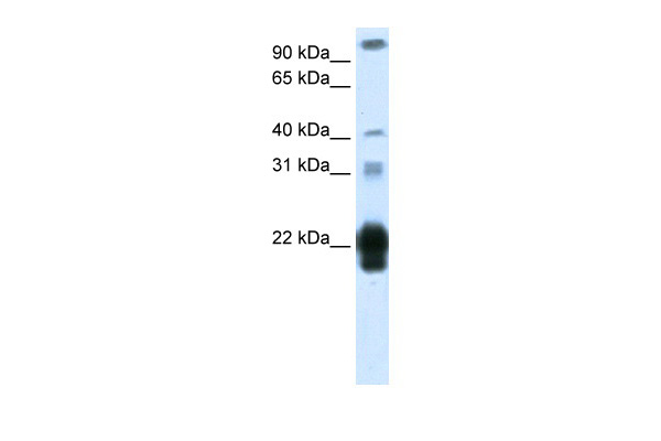 CSH1 antibody - middle region (ARP40350_T100) in Human Placenta cells using Western Blot