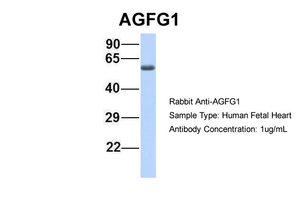 HRB antibody - middle region (ARP40520_P050) in Hum. Fetal Heart cells using Western Blot