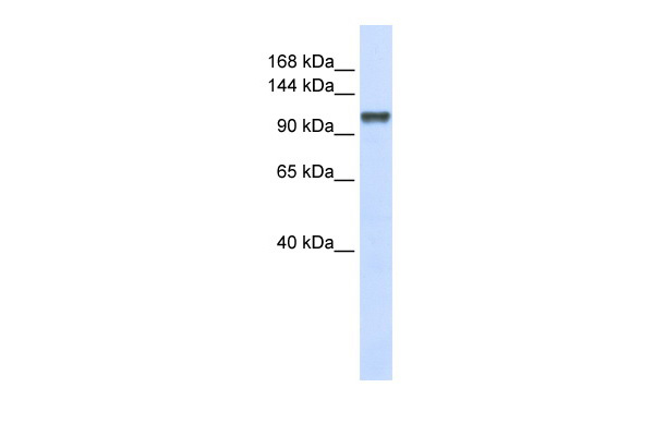CHERP antibody - middle region (ARP40643_P050) in Human 293T cells using Western Blot