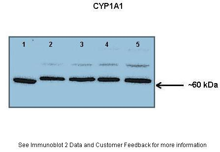 CYP1A1 antibody - middle region (ARP41405_P050) in Human  lung microsome cells using Western Blot
