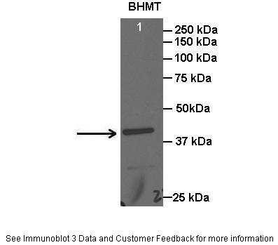 BHMT antibody - C-terminal region (ARP41475_T100) in Rat liver cells using Western Blot