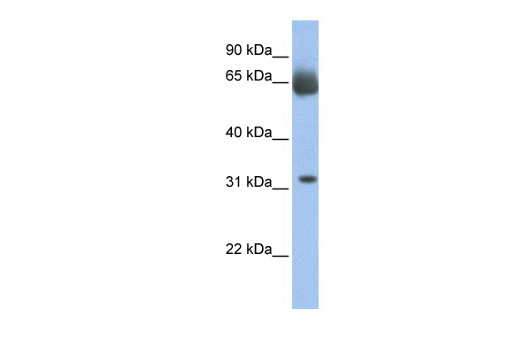 C11orf54 antibody - N-terminal region (ARP41593_P050) in Human Muscle cells using Western Blot