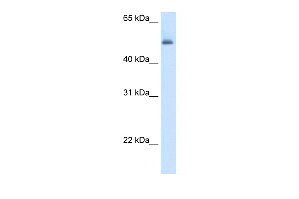 ASL antibody - middle region (ARP41667_T100) in Human Liver cells using Western Blot