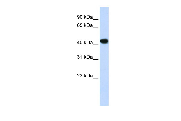 ADH1B antibody - N-terminal region (ARP41786_P050) in Human Lung cells using Western Blot