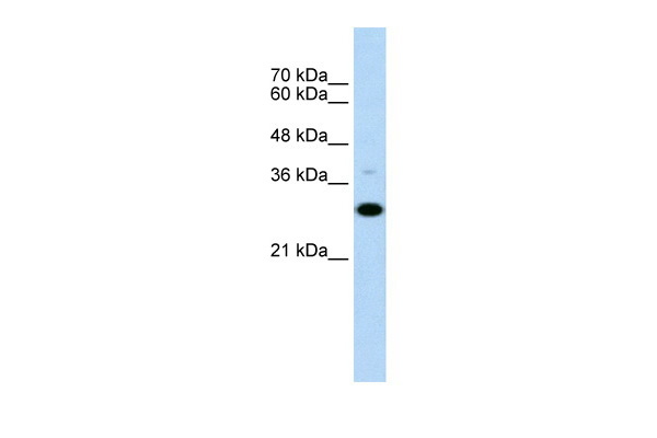 CD40 antibody - N-terminal region (ARP41929_P050) in Human Raji cells using Western Blot