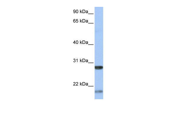 BDNF antibody - middle region (ARP41970_P050) in Human Liver cells using Western Blot
