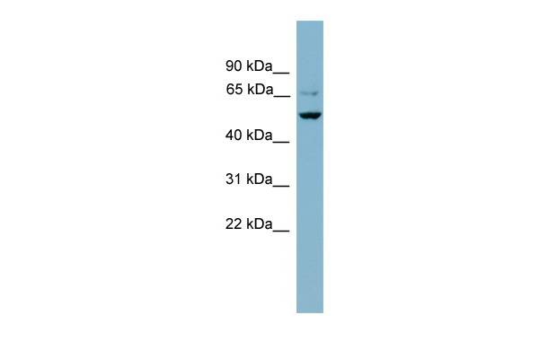 ANGPTL3 antibody - N-terminal region (ARP42411_P050) in Human NCI-H226 cells using Western Blot