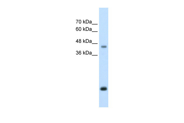 ASPN antibody - middle region (ARP42487_T100) in Human HepG2 cells using Western Blot