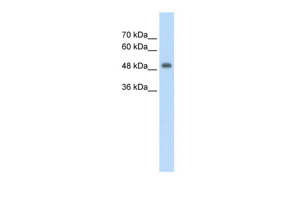 CUEDC1 antibody - middle region (ARP42500_T100) in Human HepG2 cells using Western Blot