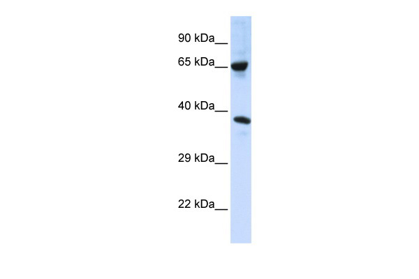 C6orf134 antibody - middle region (ARP42643_P050) in Human 293T cells using Western Blot
