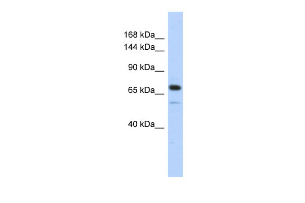 CALD1 antibody - middle region (ARP42685_P050) in Transfected 293T cells using Western Blot